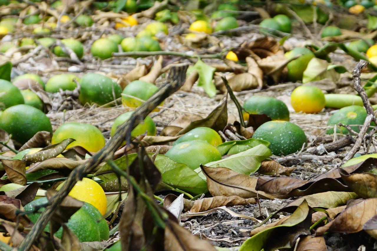 有田みかんの摘果みかん